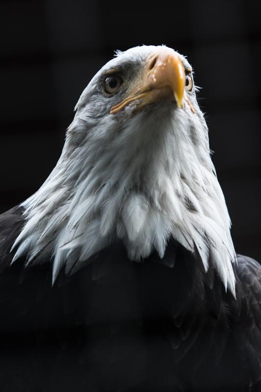 Tierfotografie Seeadler