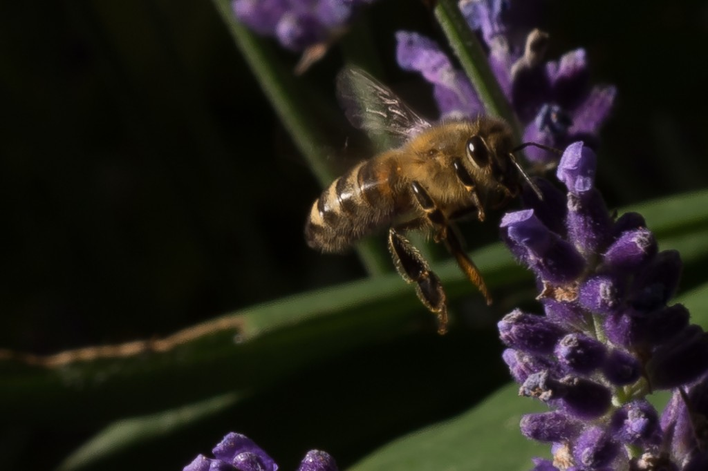Biene im Anflug....